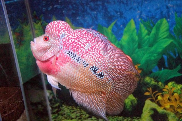 jenis ikan louhan red synspilum