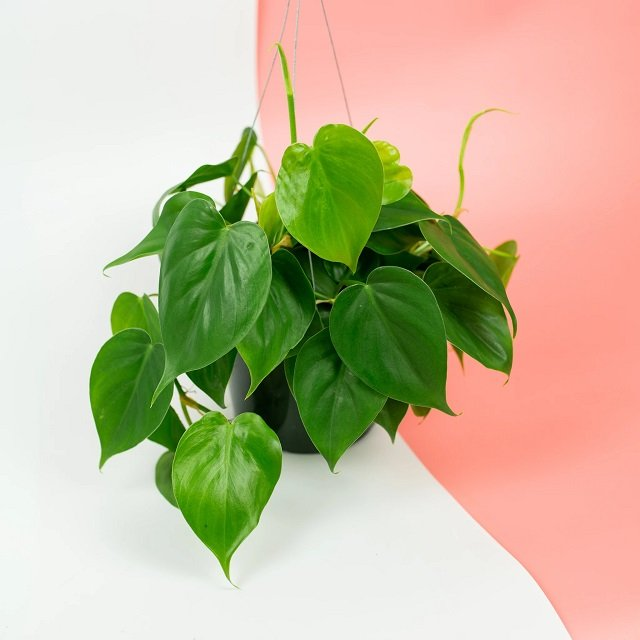 jenis philodendron