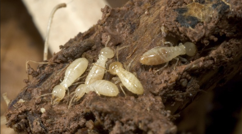 What To Do When You Ve Got A Termite Infestations In Your Home