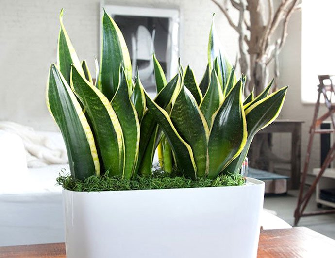 indoor plants mother in law plant