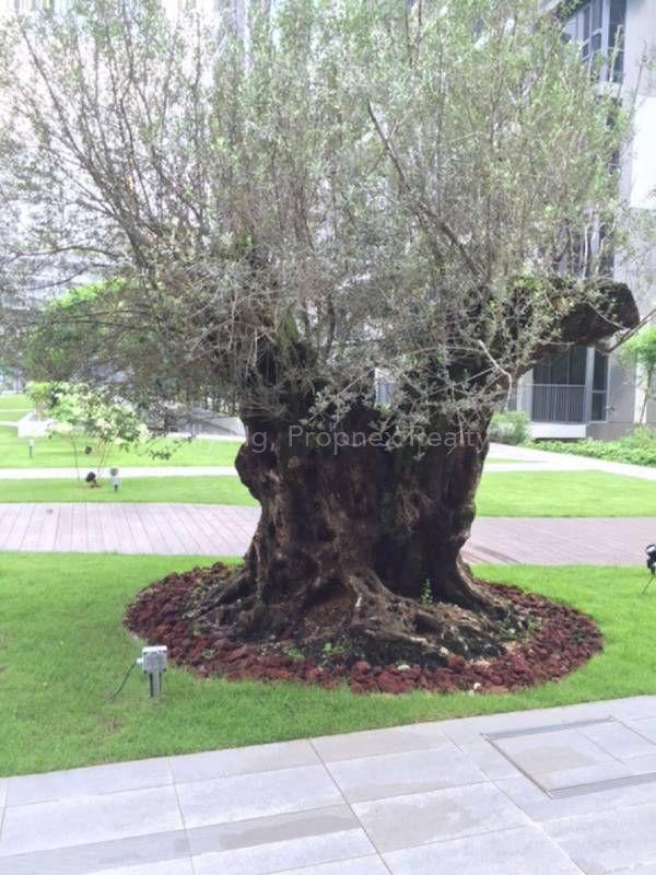 La Fiesta olive tree