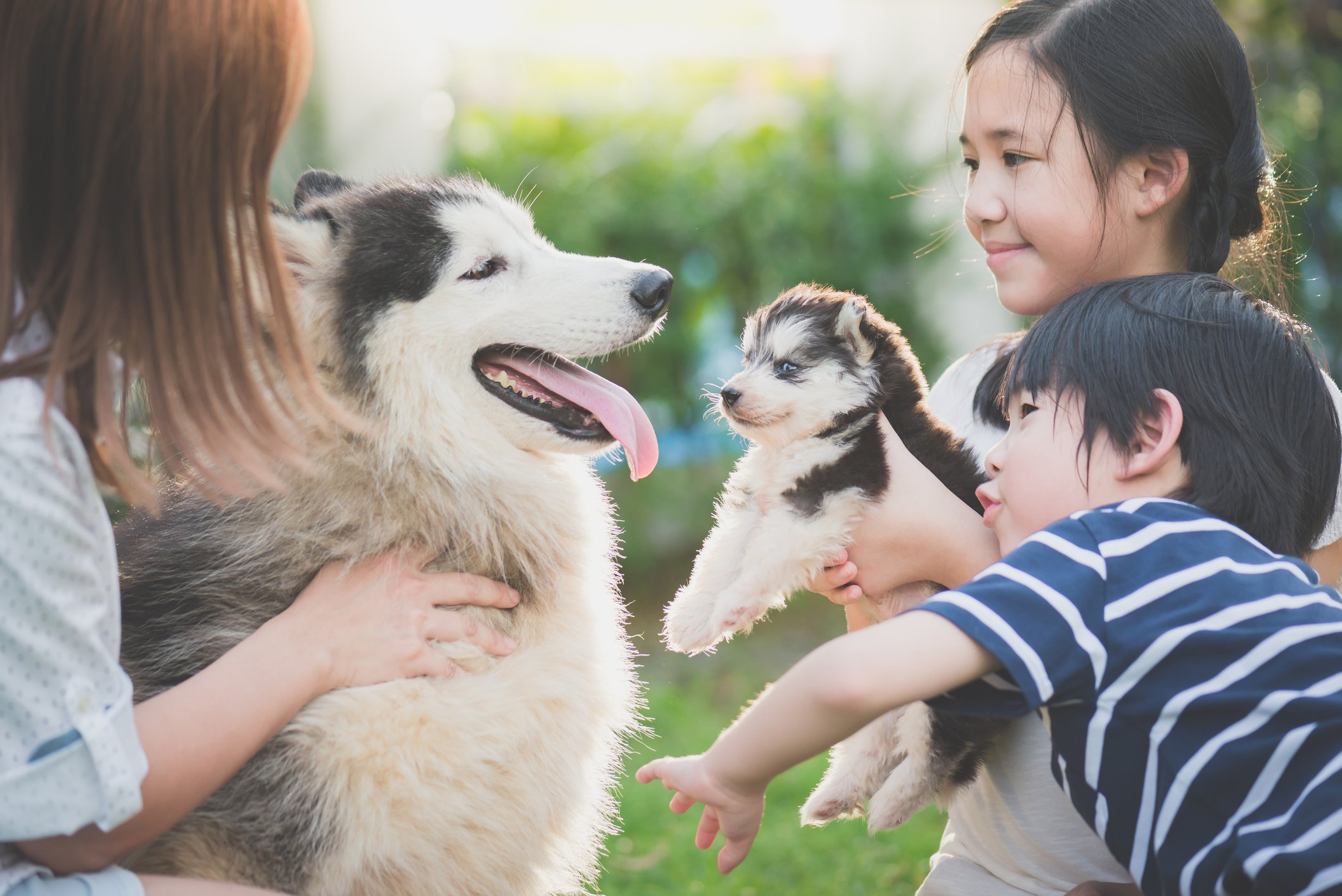 People leading a big husky toward a puppy husky