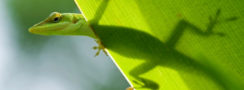 4 Effective ways to get rid of geckos