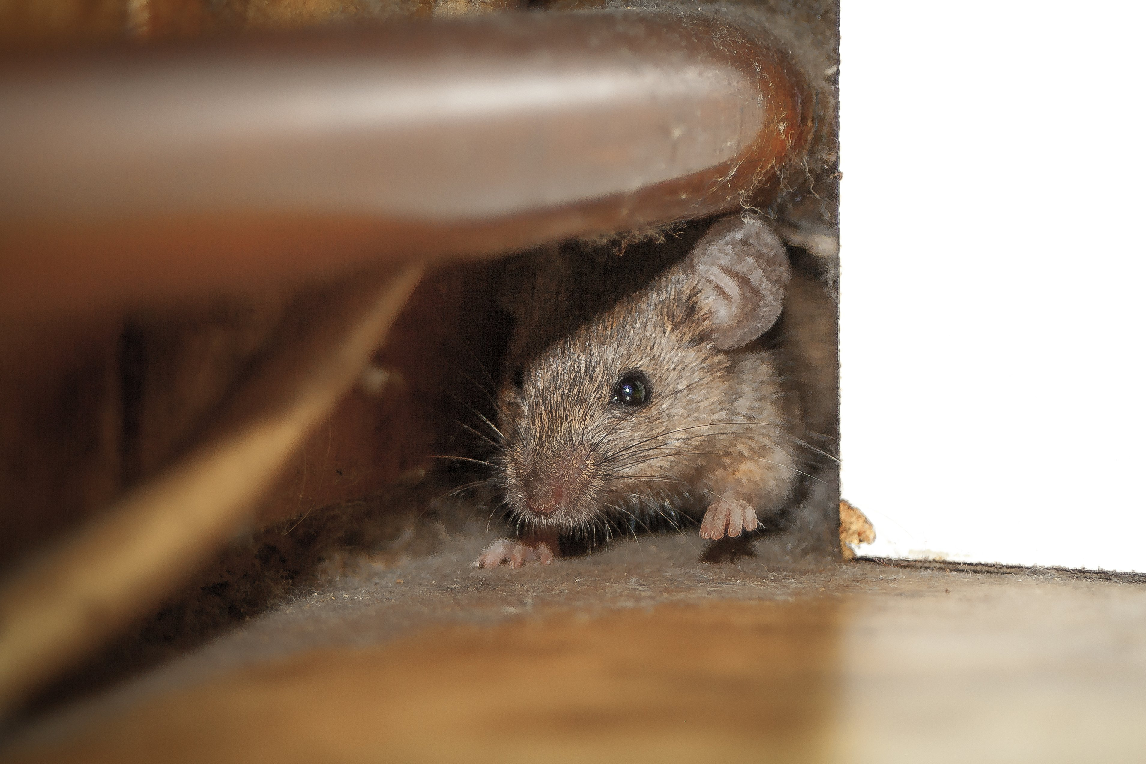 Mouse under chair