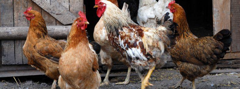 flock of chicken