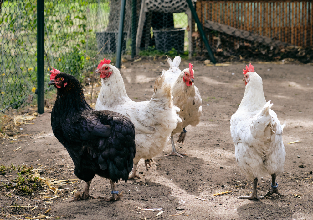 flock of black and white chickens
