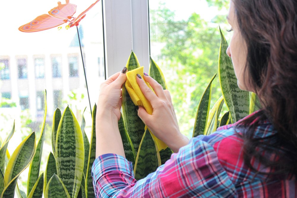 Woman Wiping the Leaves of Indoor Plant