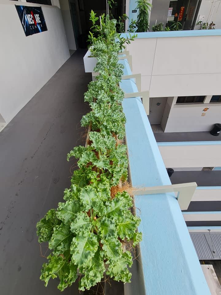 Kale grown by Han